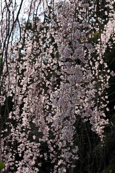 2012.4.14枝垂桜7.jpg