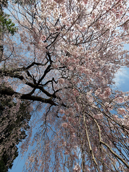 2012.4.14枝垂桜8.jpg