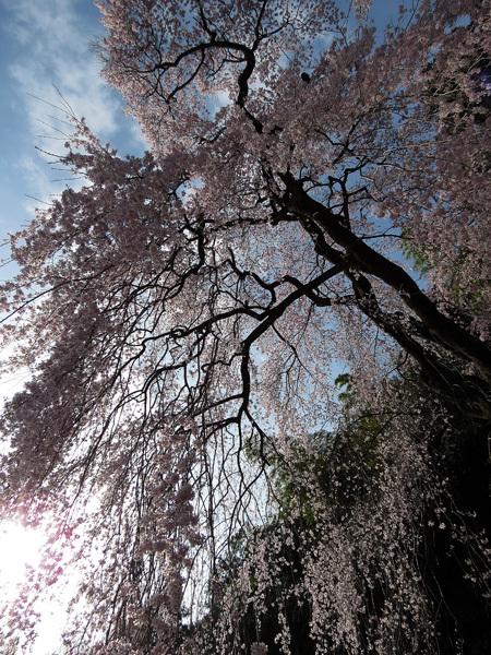2012.4.14枝垂桜9.jpg