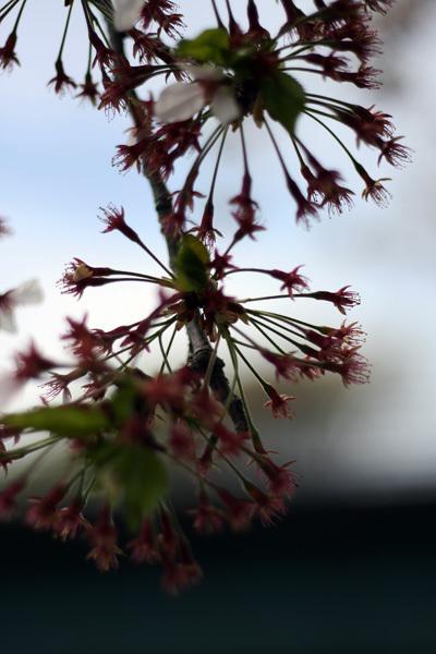 2012.4.19桜2.jpg