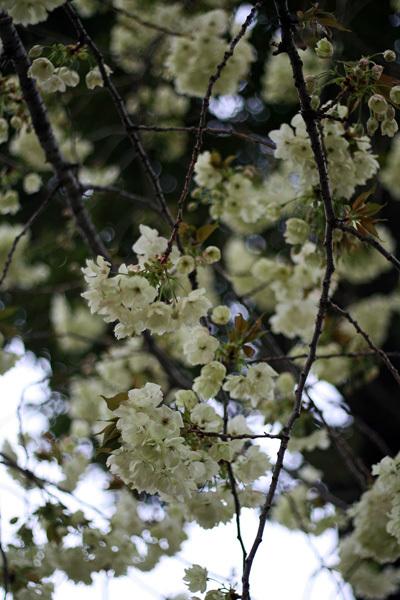 2012.4.19桜5.jpg