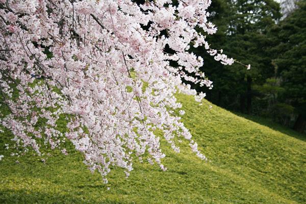 小石川桜.jpg