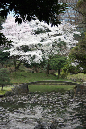 小石川桜2.jpg